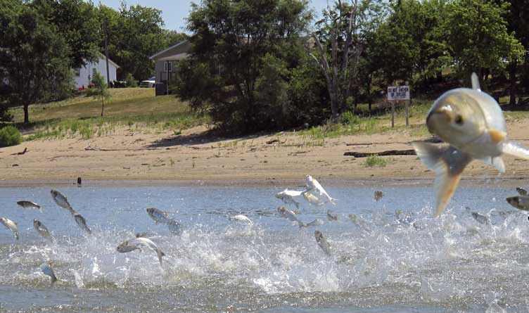 Asian carp jolted electric current from a research boat jump Illinois River Havana, Ill.