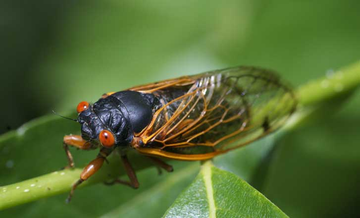Cicadas Are Singing In Tennessee